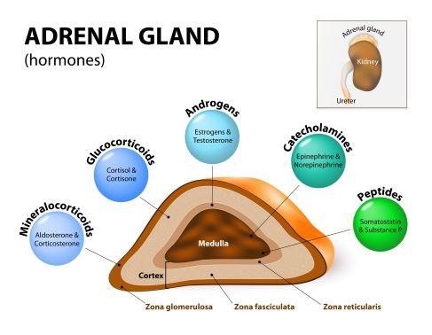 website image adrenal glands